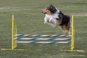 Rough_Collie_agility_jump